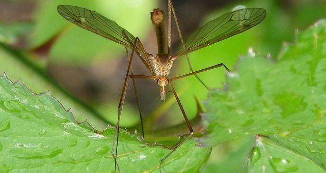 Todo lo que necesitas saber sobre el mosquito tigre